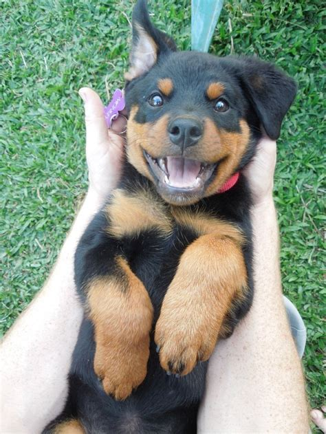 rottweiler vaccination why rottweilers are pets