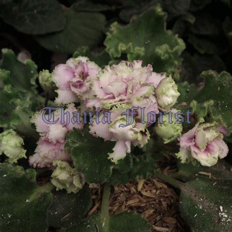 Tanaman Violces Ungu jual tanaman bunga violces thania florist jual mawar