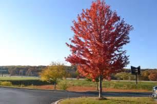 autumn blaze maple clean cut property services inc