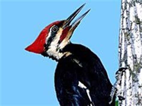 woodpecker animals town