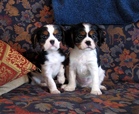 king cavalier puppies for sale king charles cavalier puppies for sale