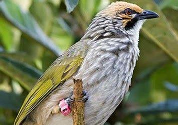 Cucak Ijo Ropel by Cara Memilih Burung Cucak Rowo Yang Ropel Bagus Gembala News