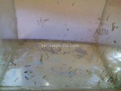 Pakan Ikan Jentik Nyamuk budidaya jentik nyamuk untuk keperluan sehari hari