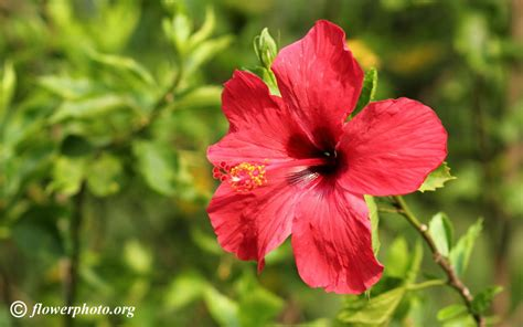 beautiful picture beautiful hibiscus picture