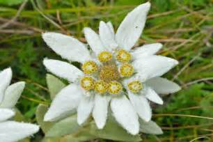 edelweiss flower meaning flower meaning