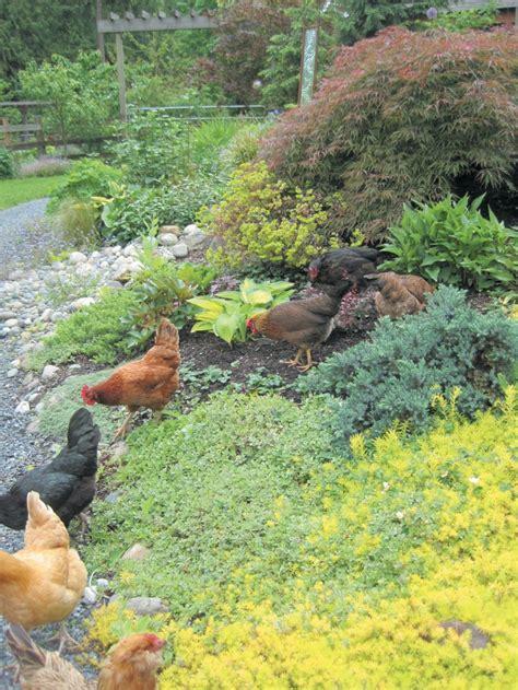Chicken Garden by Free Range Chicken Gardens How To Create A Beautiful