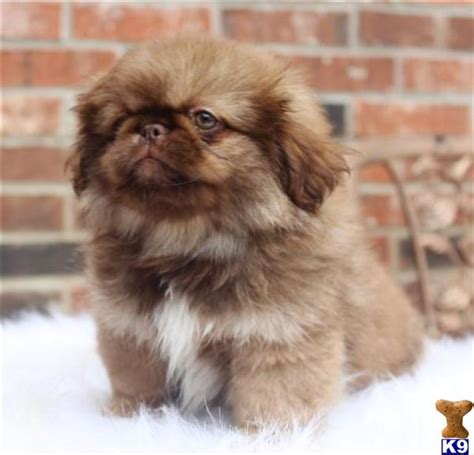 akc pekingese puppies for sale document moved