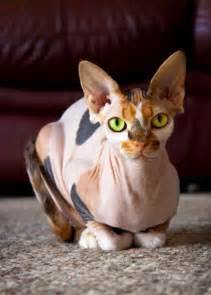 sphynx colors sphynx calico cat fluff and stuff