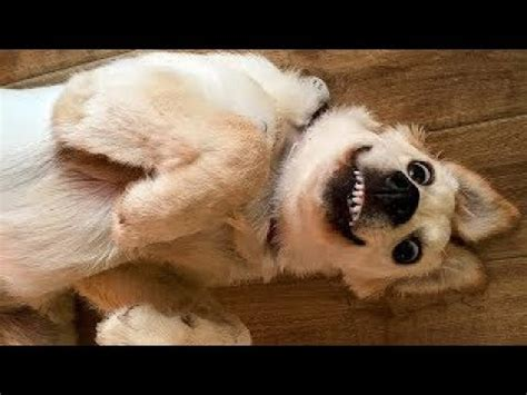 laugh cute  funny dog compilation july