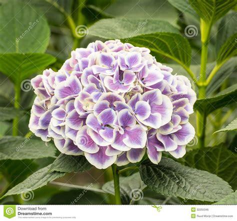 imagenes de hortencias blancas closeup of a white and purple hydrangea flower in a