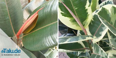 Ficus Im Schlafzimmer by Pflanzen Im Schlafzimmer 14 Gesunde Zimmerpflanzen Talu De