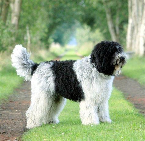 barbet puppies barbet breed guide learn about the barbet