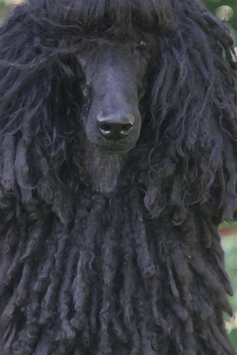 how to do a bob marley poodle cut on a dog 123 best poodle cuts clips styles images on pinterest