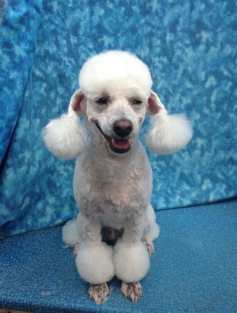 different toy poodle haircuts pictures grooming poodle haircut styles poodle grooming tips 15