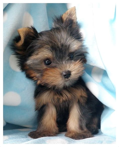 pretty yorkies terrier pictures