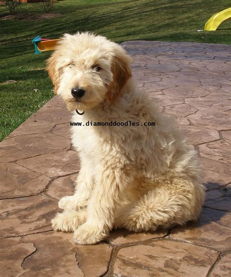 golden retriever cross poodle puppies golden retriever poodle cross puppies