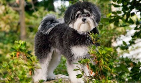 when are dogs considered adults maltipoo breed what you should