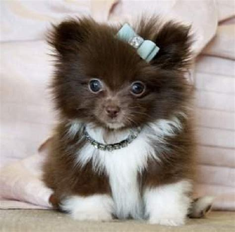 teacup pomeranian australia teacup pomeranian puppies for sale australia zoe fans baby animals