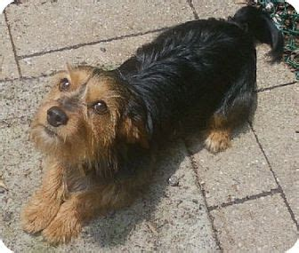 yorkie mixed with dachshund dachshund yorkie mix