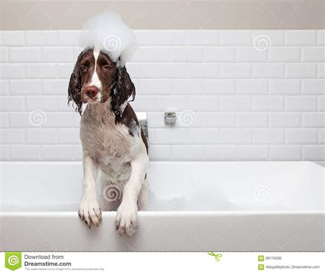 dog in bathtub funny wet dog wants out of tub stock photo image 69176282