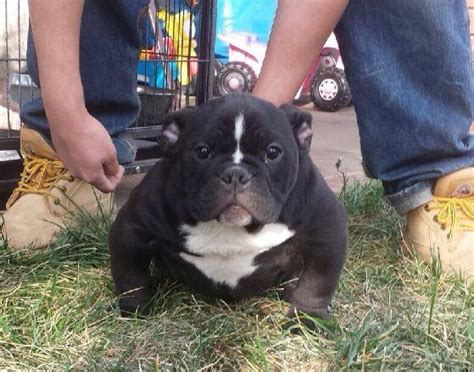 micro bully puppies image gallery micro bully