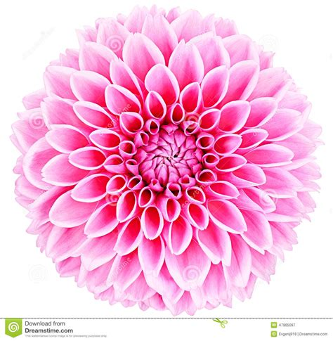 Jw Wallborder Leaf In Yellow Background dahlia pink flower with stem on white background