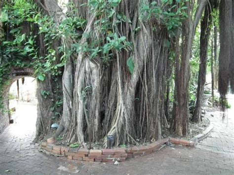 some impressive tropical trees picture of key west