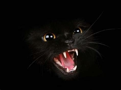 scary cat hd animals scary cat