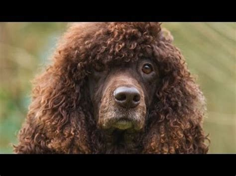 water spaniel puppies 60 seconds of water spaniel puppies