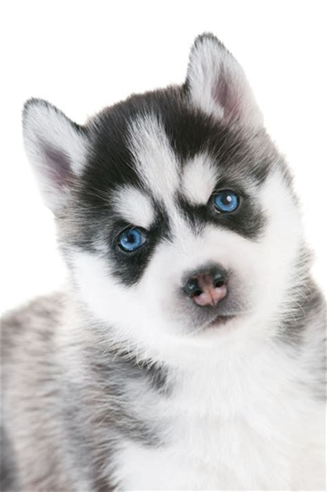 baby husky puppies baby husky puppy with striking icy blue siberian husky puppies info