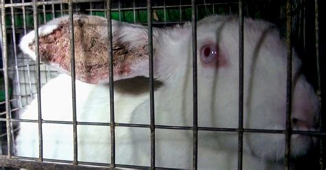 gabbie conigli allevamento ue ha votato per il benessere dei conigli d allevamento