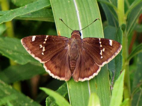 www southern southern cloudywing