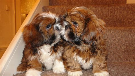 shih tzu birmingham adorable shih tzu puppies for sale birmingham west midlands pets4homes