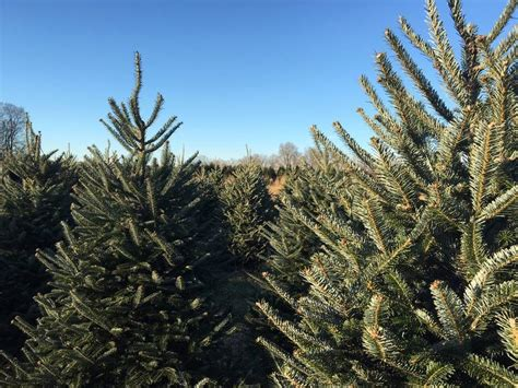 point pleasant christmas tree farm nj s best your own tree farms patch