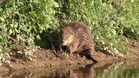 Beaver Pc Thats Actual Beaver Not The Brand Beaver by S Only Beavers Give Birth The Known