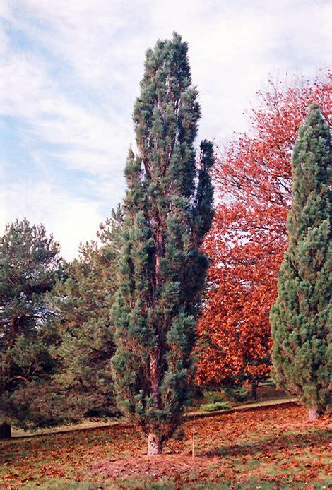 scotch sentinel pine pinus sylvestris fastigiata  fayetteville springdale rogers