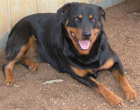 dogs that look like rottweilers what does a rottweiler and chow mix look like breeds picture