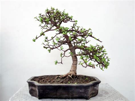 my jade after the