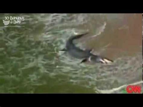 massive megalodon shark washed ashore californian beach