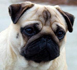 pugs that don t shed stephen hammill what s the right for me if i m not right for any