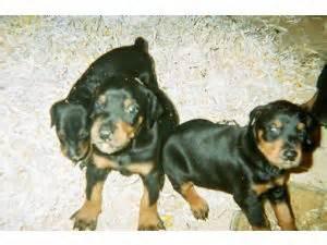 doberman puppies wisconsin doberman pinscher puppies in wisconsin