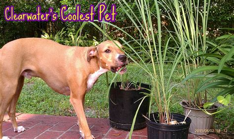 is lemongrass safe for dogs lemon grass www thesuperstar org by thesuperstar flickr photo