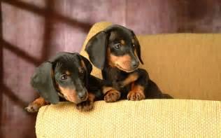 Dachshund Puppies Miniature Dachshund Puppies Wallpapers Puppy Dachshund