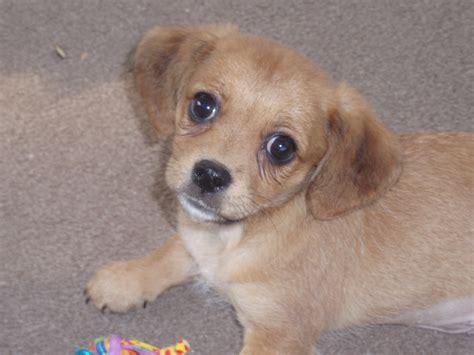 are vizsla non shedding dogs breeds picture