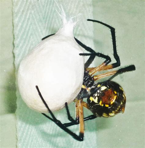 Yellow Garden Spider Egg Sac Bugs In The News