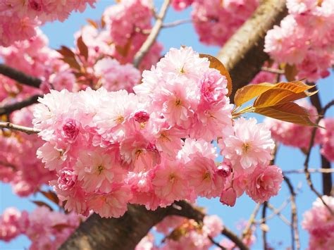 Cherry Blossom Japanese 183 Free Photo On Pixabay Japanese Cherry Blossom Flower