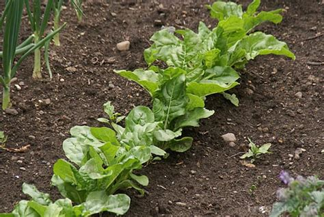 free vegetable garden vegetable garden pictures free use image 807 13 9336 by