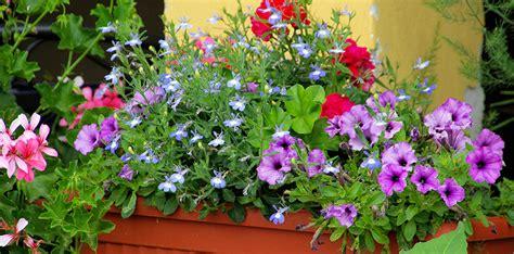 balkonpflanzen sonnig balkonpflanzen abc der ratgeber rund ums thema