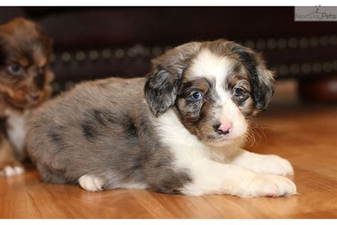 mini aussiedoodle puppies for sale near me aussiedoodle puppy for sale near richmond virginia ecf6d675 ab41