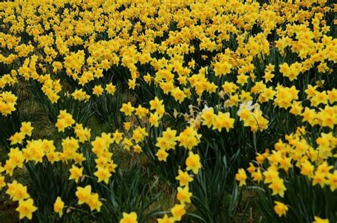 daffodil yellow romantic flowers daffodil flowers